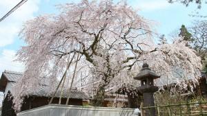 【桜堂薬師】桜