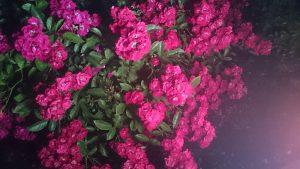 ナイトローズラビリンス2-花フェスタ記念公園バラ祭り